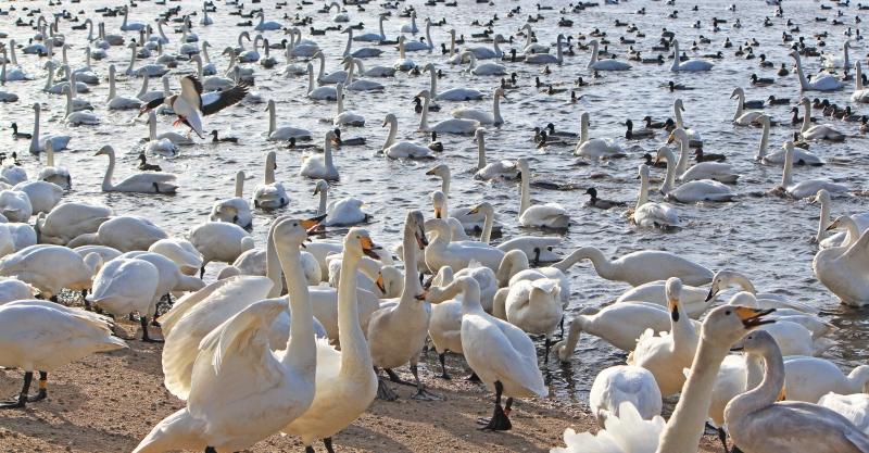 A frenzy of Whooper Swans Cygnus cygnus