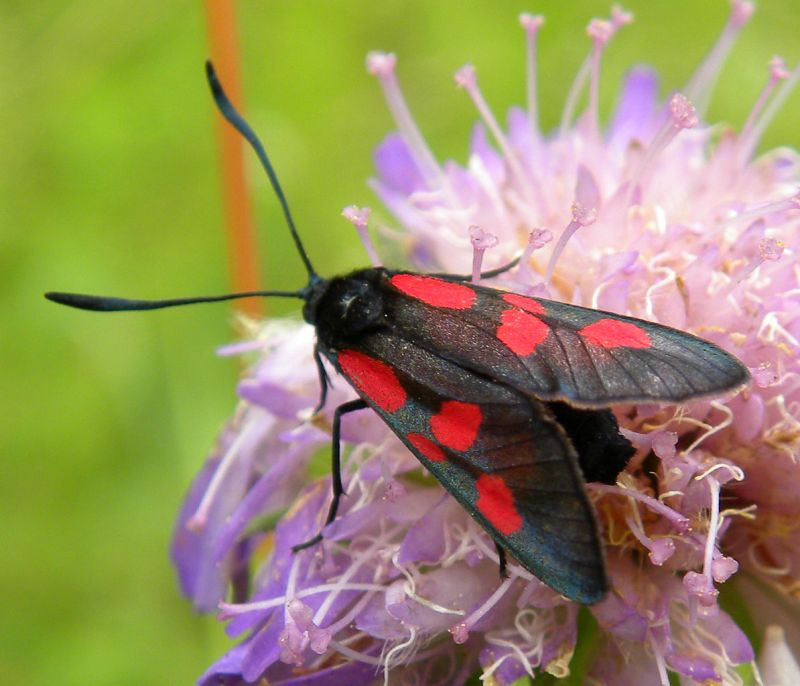 Six-Spot Burnet Moth (by Mark Wilson)