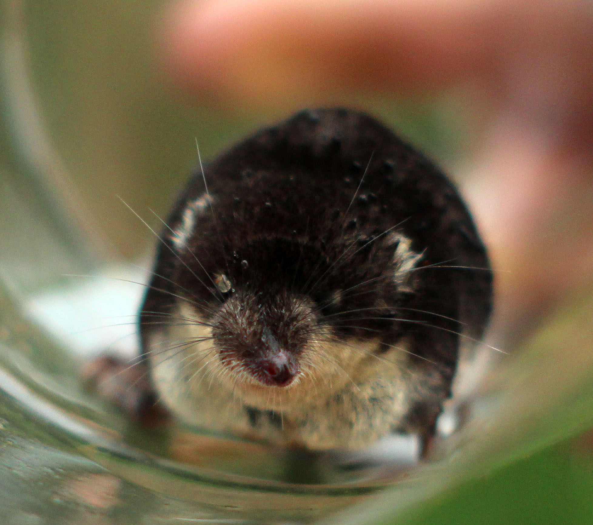A wet and tired looking water shrew