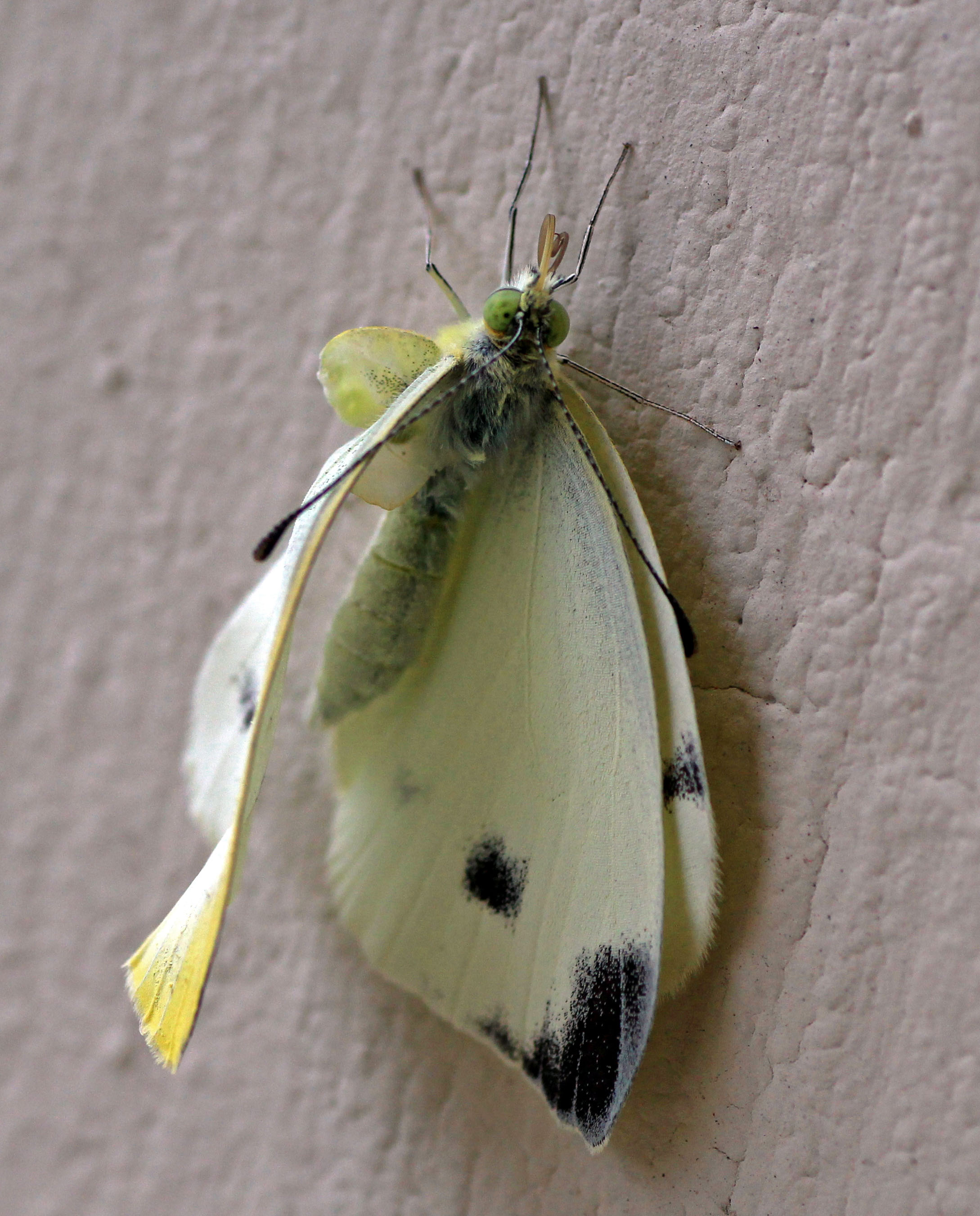A small white with a underdeveloped forewing