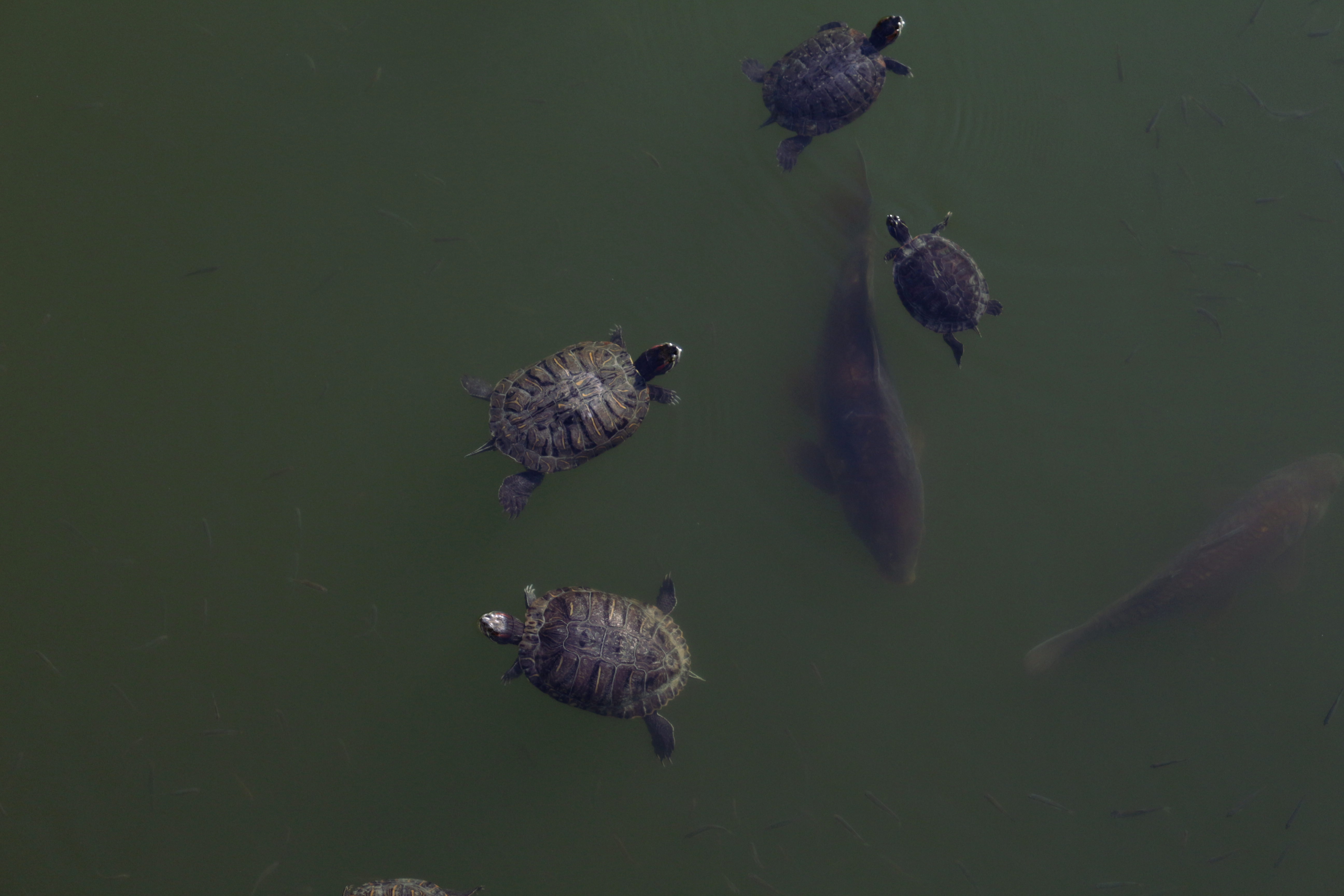 Big Slider Turtles with even bigger fish